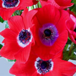Anemone - Red