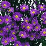 Aster - Monte Casino - Purple