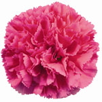 Carnations - Hot Pink