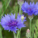 Bachelor Buttons • Cornflowers