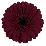 Mini Gerbera - Blackstone