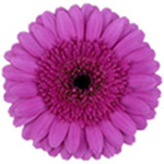 Mini Gerbera - Picture Perfect