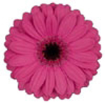 Mini Gerbera - Vista