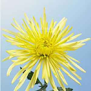 Spider Mum - Yellow