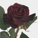 Rose - Black Baccara • 50cm Intermediate