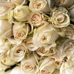150 Cream Roses 60cm Long Stem