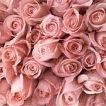150 Pink Roses 60cm Long Stem