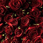 150 Red Roses 60cm Long Stem
