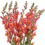 Snapdragons - Orange