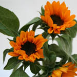 Sunflower - Miniature with Black Center