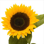 Sunflower - Black Center