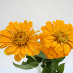 Zinnia - Yellow